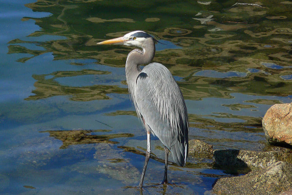 Great Blue Heron.Flickr.