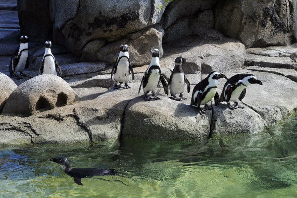 African Penguins at The Maryland Zoo enjoy Penguin Coast, the largest habitat of its kind in North America.Courtesy of The Maryland Zoo in Baltimore