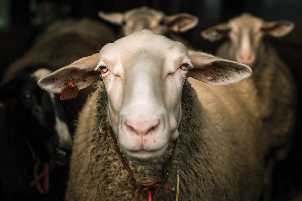 Sheep get ready for milking at Shepherds Manor Creamery.Photography by Justin Tsucalas
